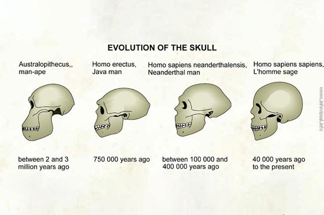 Évolution du cerveau